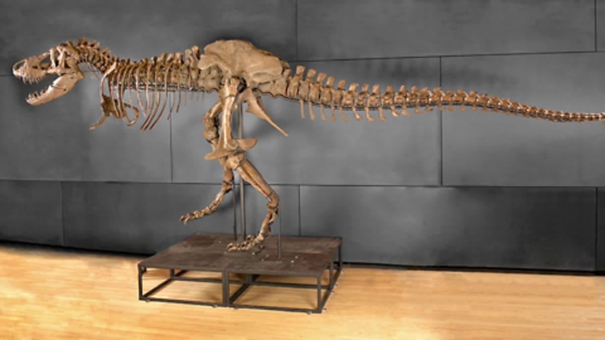 Huippukallis Tyrannosaurus Rex Meni Lopulta Kaupaksi Yle Uutiset