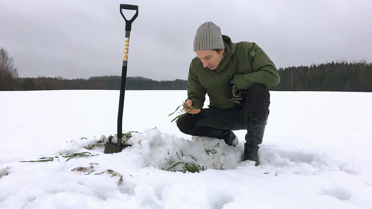 Maanviljelijä Juuso Joona tutkii syysruista pellollaan talvella 2018