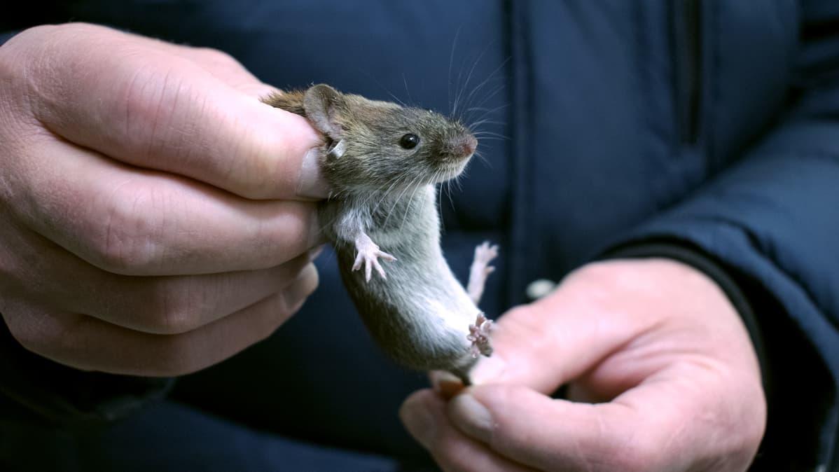 Tutkija pitää metsämyyrää kiinni niskasta ja hännästä.
