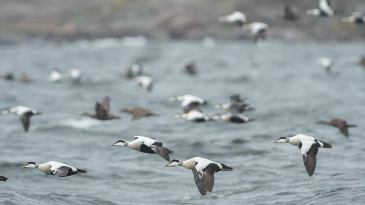Haliaksella on nähty tänä keväänä yksi lintuaseman historian vilkkaimmista haahkamuutoista.