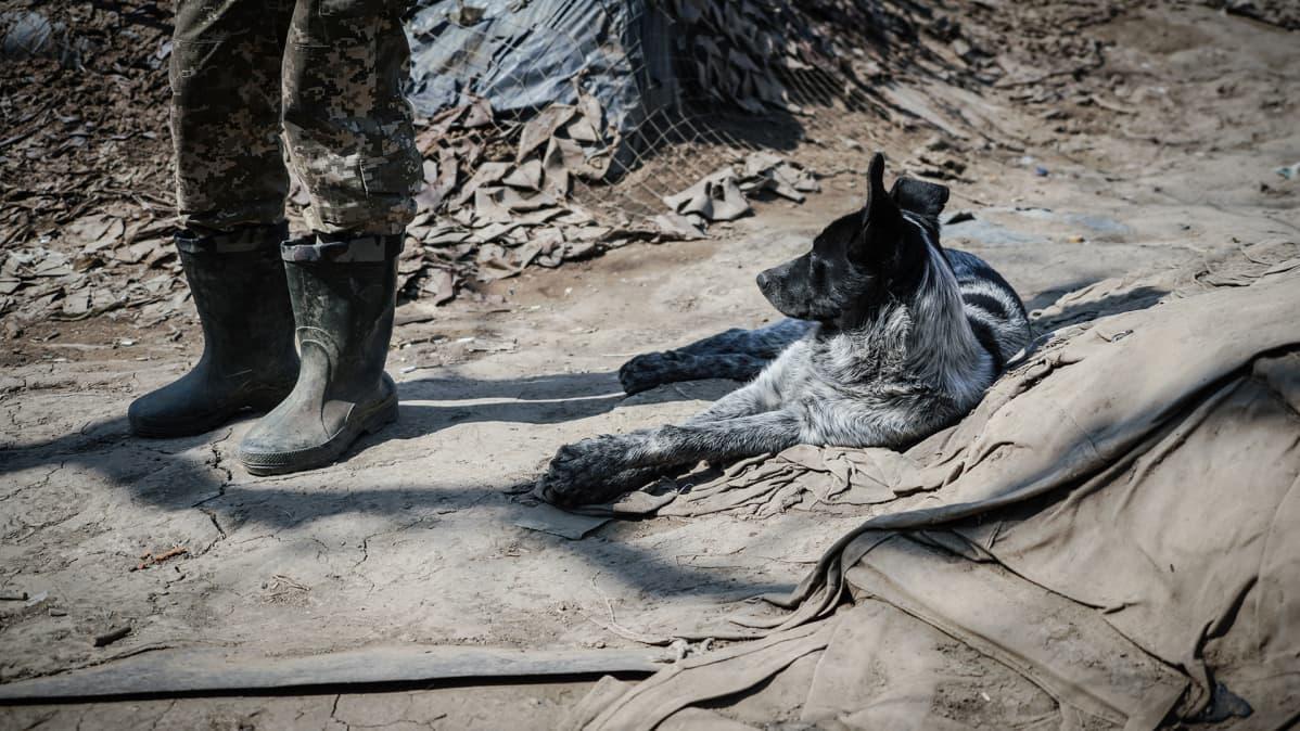 Sota on jatkunut jo neljä vuotta ja koiria on kerääntynyt paljon Svitlodarskin etulinjaan Itä-Ukrainassa.