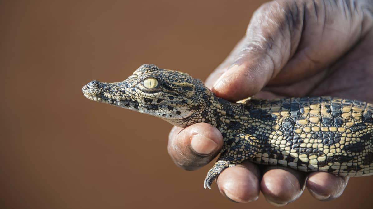 Krokotiilin poikanen