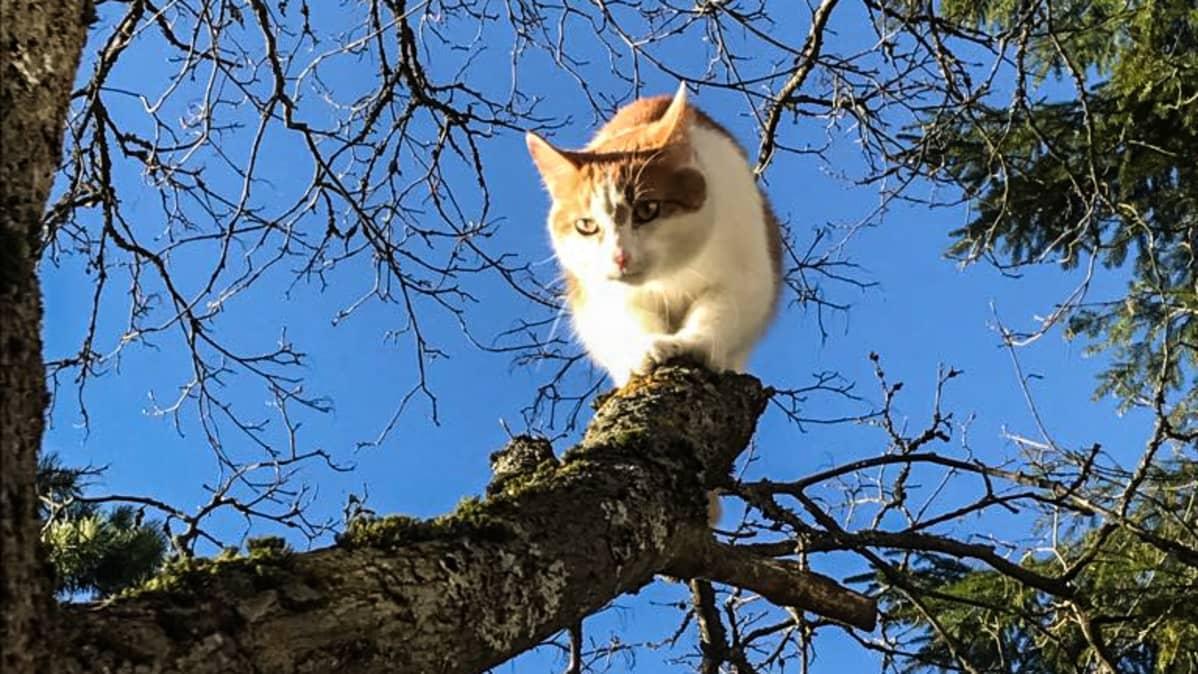 Kissa nimeltä Alamies kiipeää puussa.