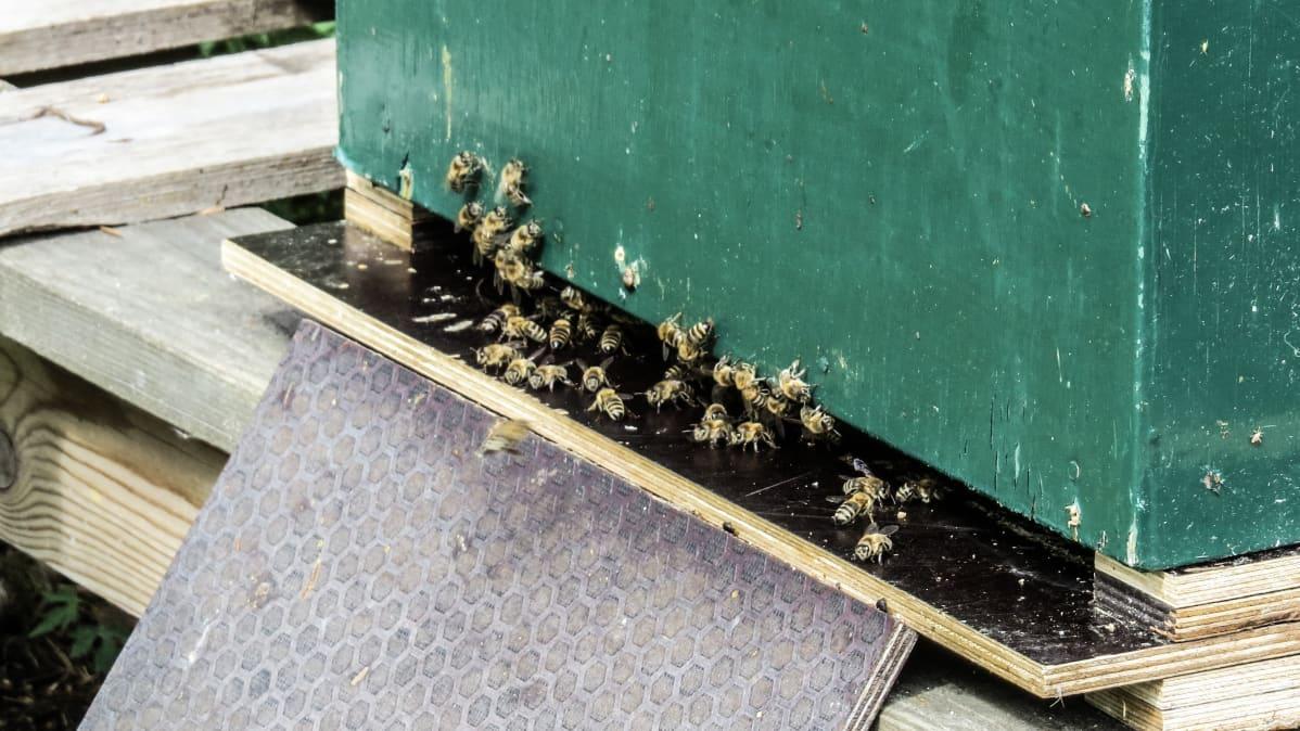 Mehiläisiä pesän suuaukolla.