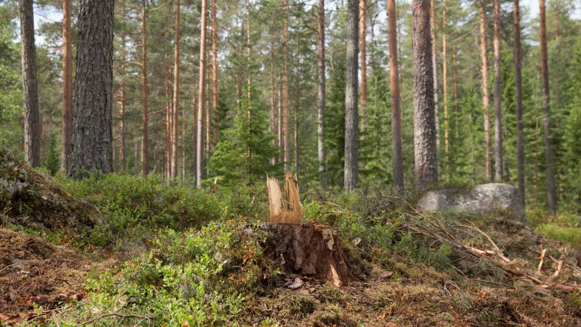 Jatkuvan kasvatuksen metsä
