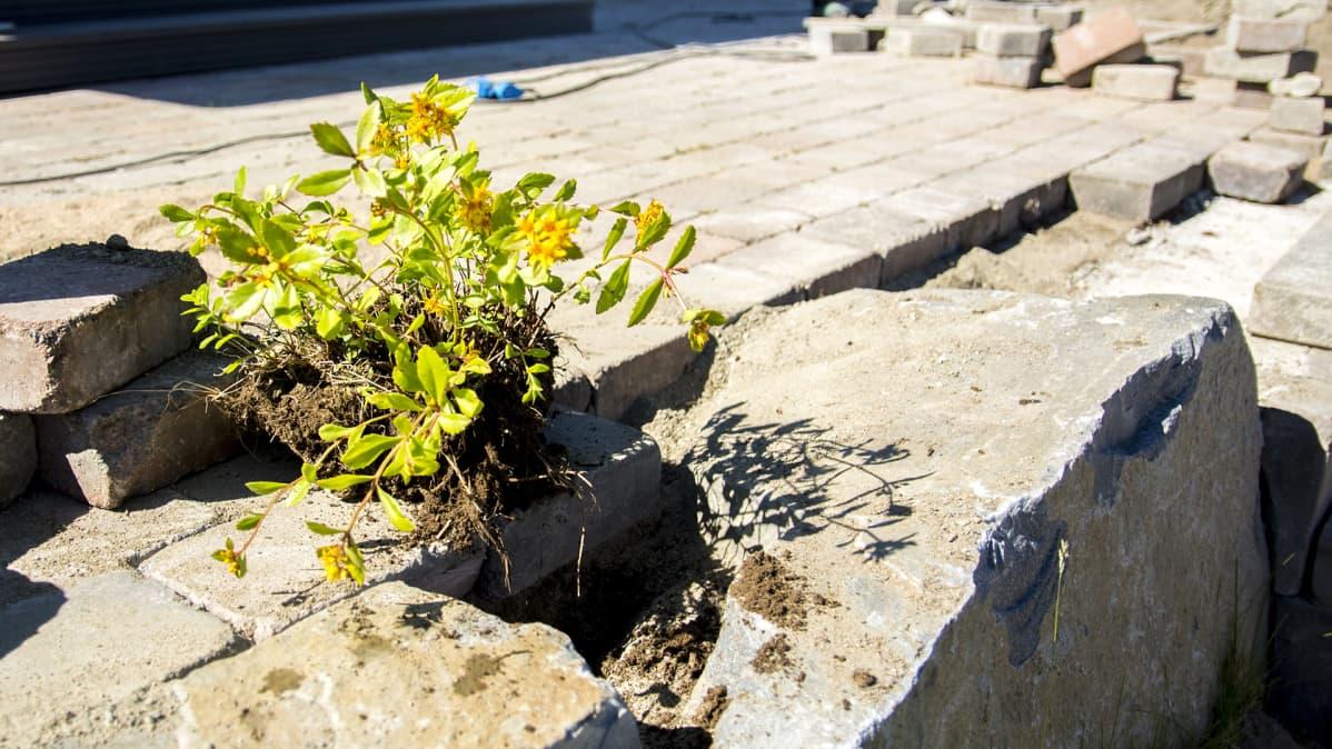 Kuva istutukseen menevästä kasvista katukivetyksellä.