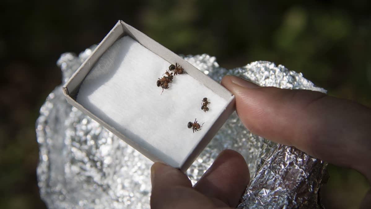Muurahaisia tulitikkulaatikossa.