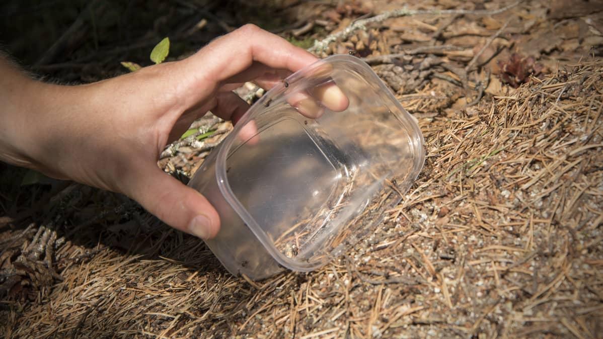 Muurahaispesästä otetaan muurahaisia muovirasiaan.