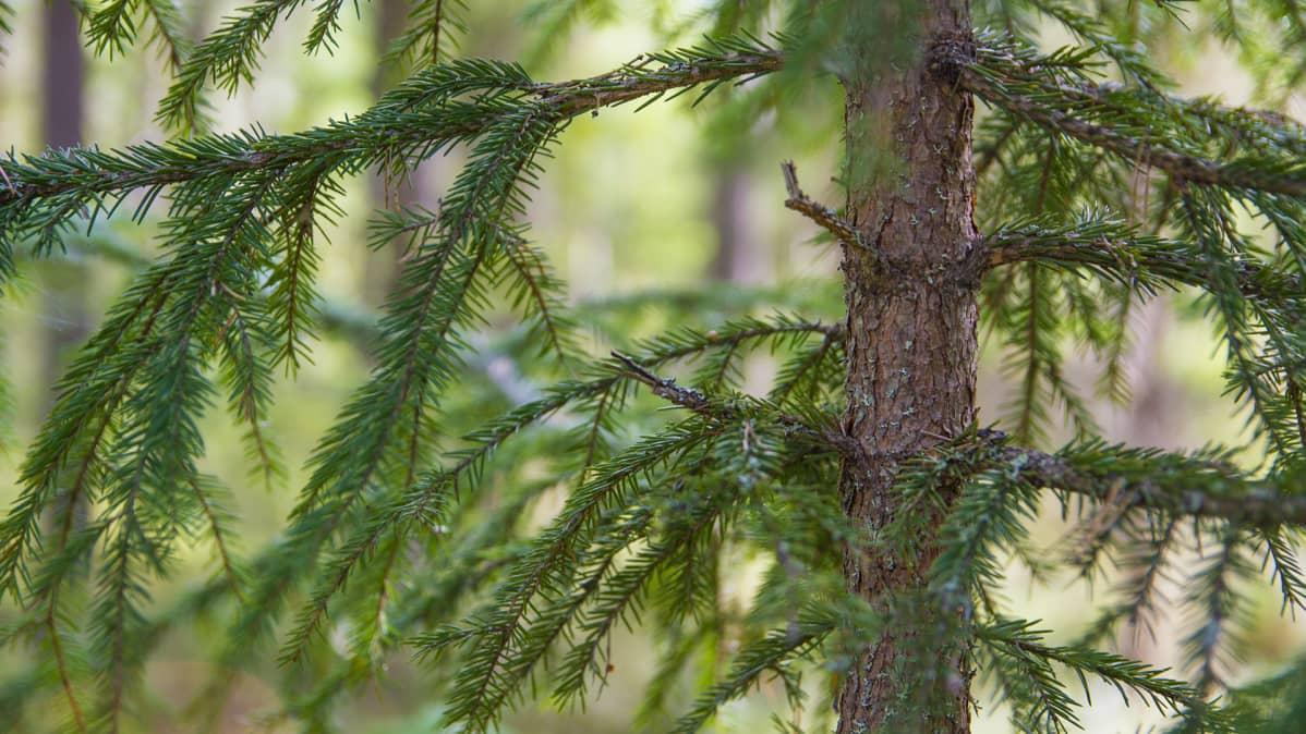 Kuusi oksa puu metsä luonto havuja havunneulanen