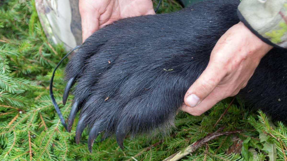 Metsästäjä nostaa kaksin käsin karhun tassua