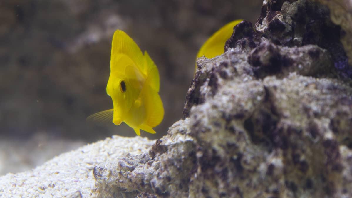 Keltavälskärikalat ovat Uuden lastensairaalan riutta-akvaarion katseenvangitsijoita