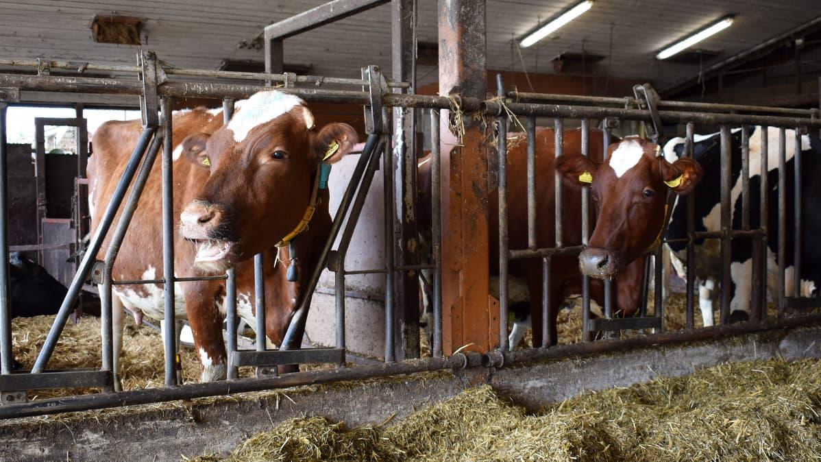 Lehmiä pihattonavetassa