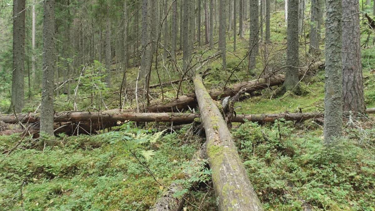 Vanhaa metsää Muuramessa.