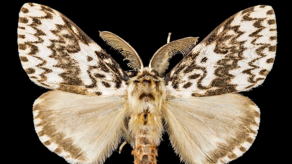 Havununna - Lymantria monacha (lat.)