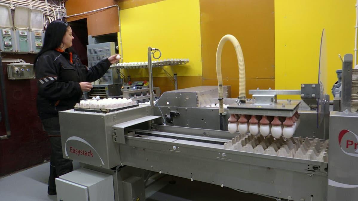 Robotti nostelemassa kananmunia kennoihin.