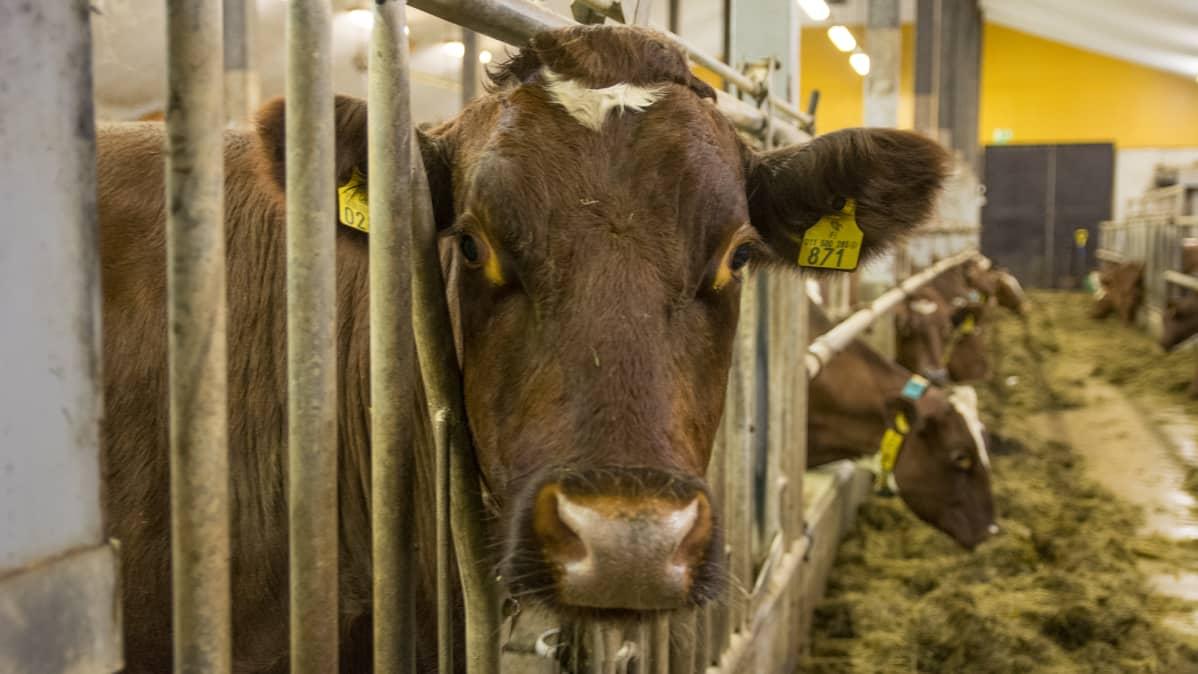 lehmä navetta maito maatila