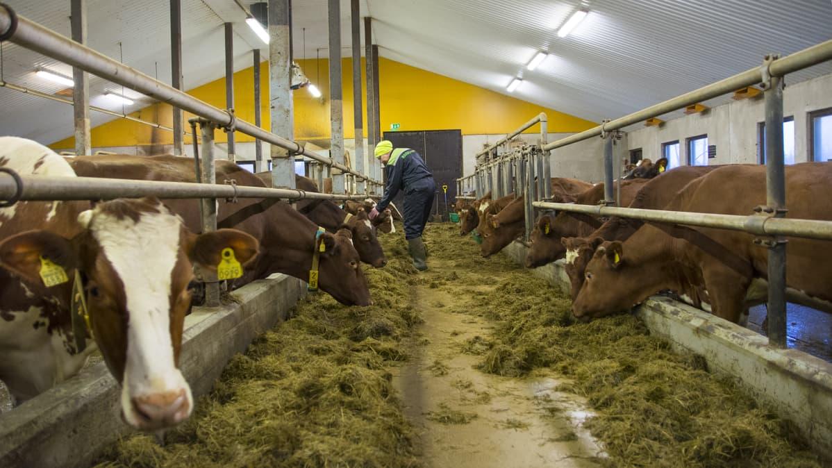 Navetta maatila lehmät maitotila ruokinta