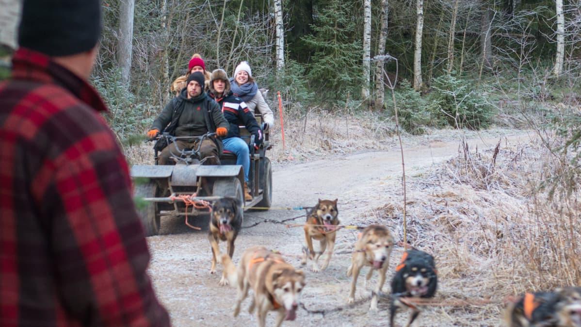 Aki Holckin vetokoirat antavat turisteille kunnon kyytiä. Lumettomuus ei haittaa sen paremmin kyytiläisiä kuin koiriakaan.