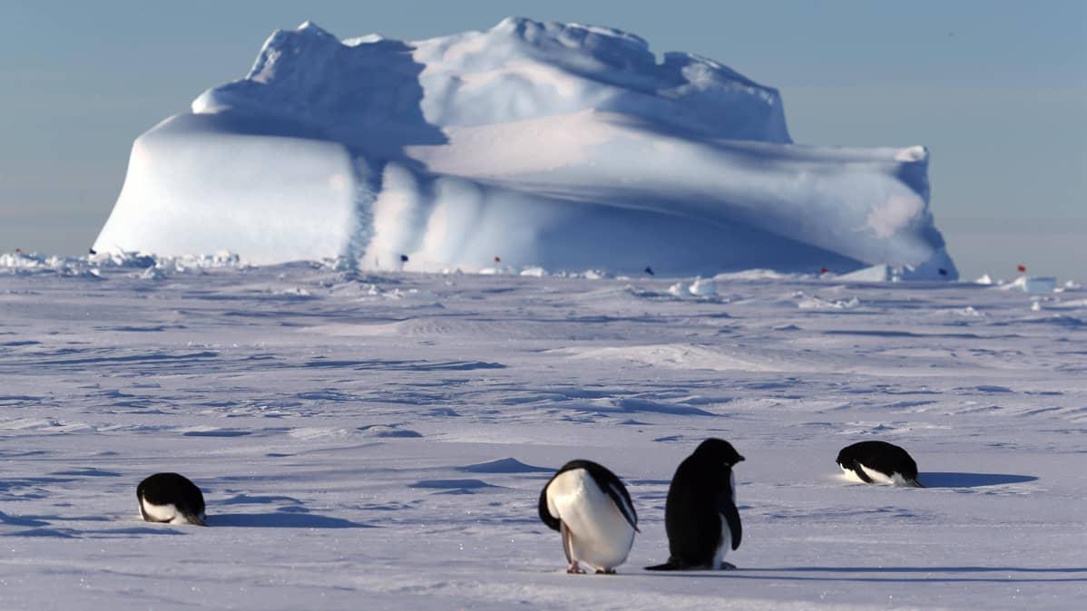 Pingviinejä Etelämantereella.