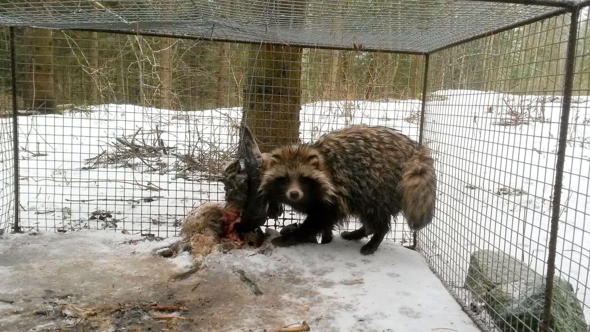 Supikoira häkissä talvella