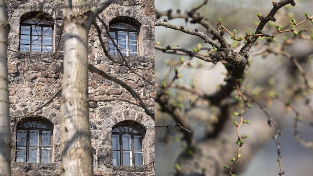 Kuvakombo: Viipurin linnan ikkunoita ja keväinen lehtikuusi.