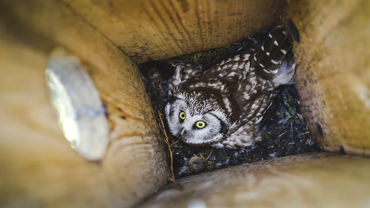 Helmipöllöjen kanta on taantunut Suomessa metsätalouden seurauksena.
