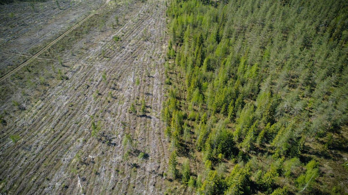Avohakuuta ja jatkuvan kasvatuksen metsää