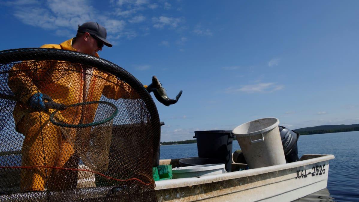 Ammattikalastaja Antti Kyllönen heittää alimittaiset kalat takaisin järveen.