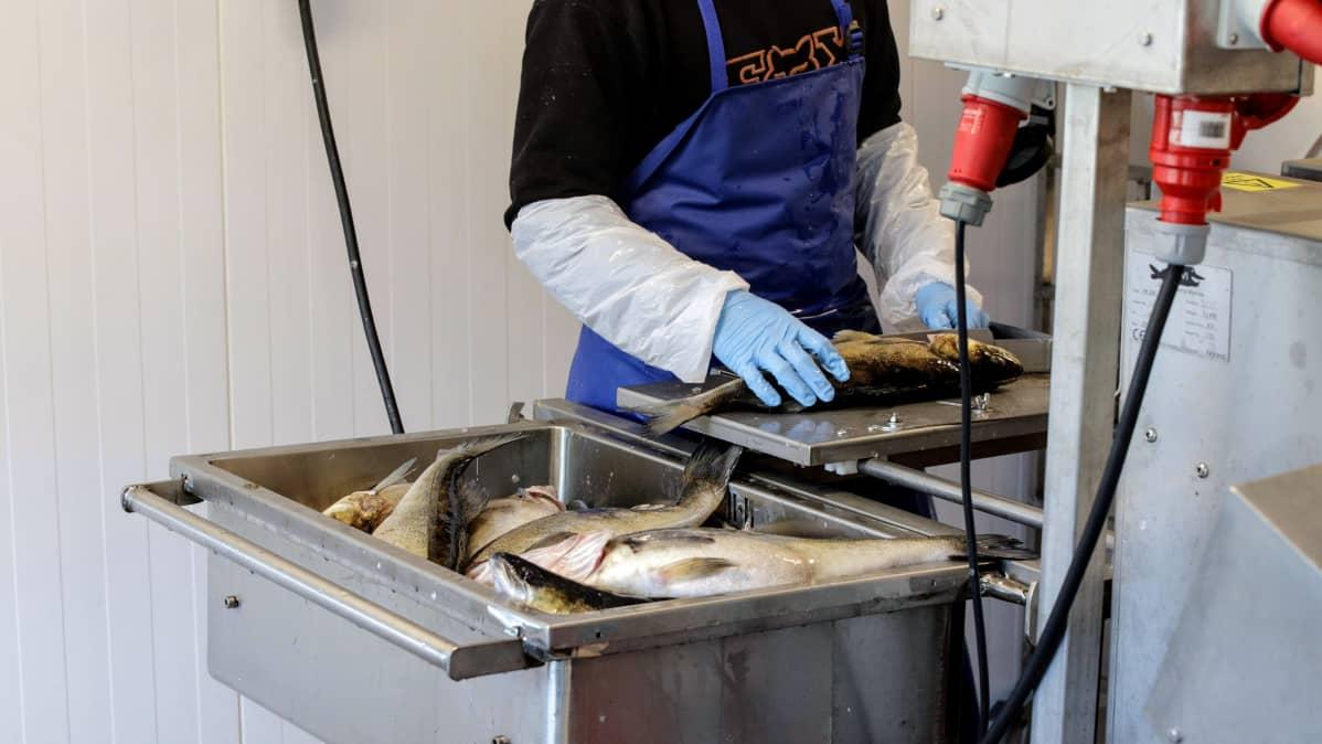 Santeri Toivonen leikkaa kalalta pään pois kalankäsittelylaitteella.