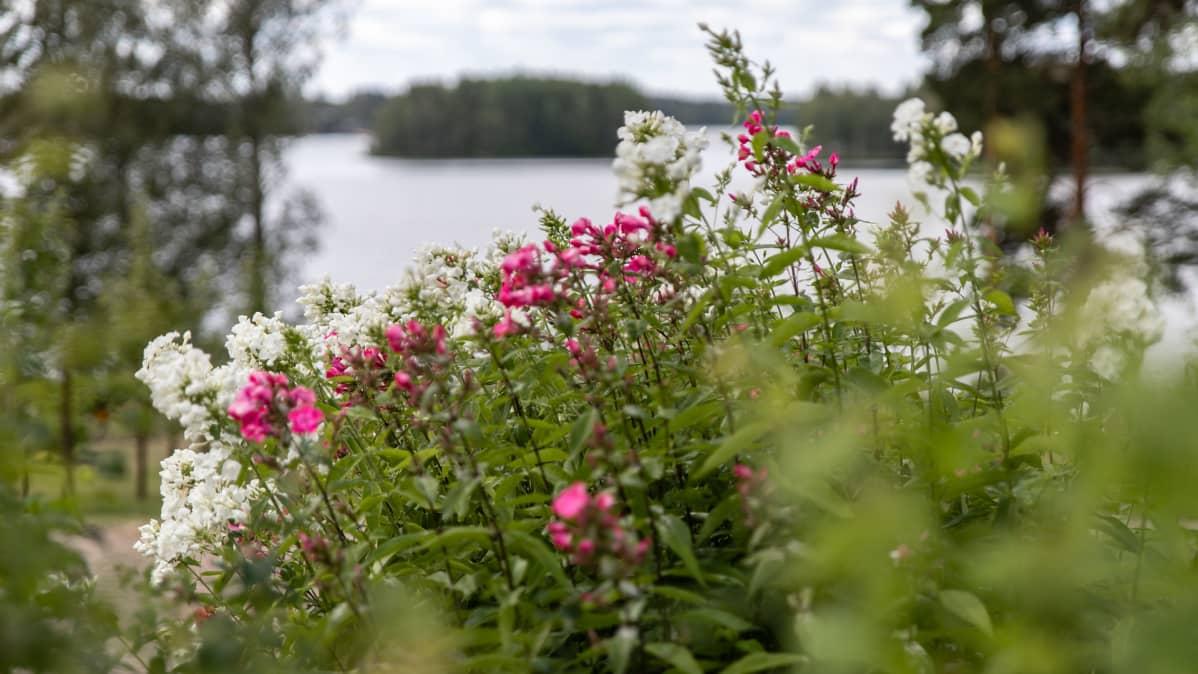 Kotkaniemen puutarhan kukkia