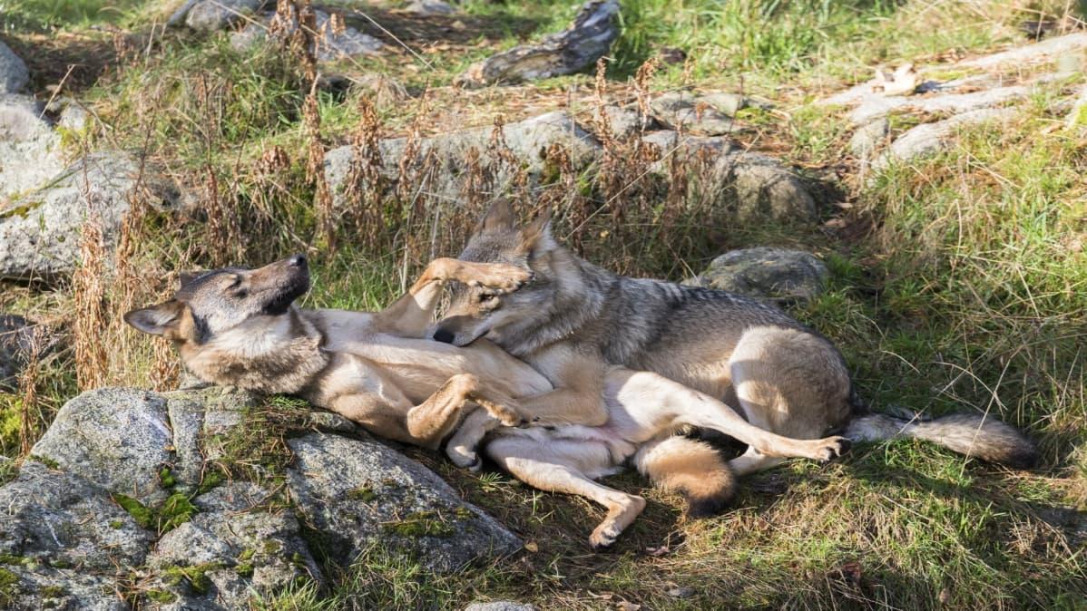 Ranuan eläinpuiston susipari Ruska ja Routa