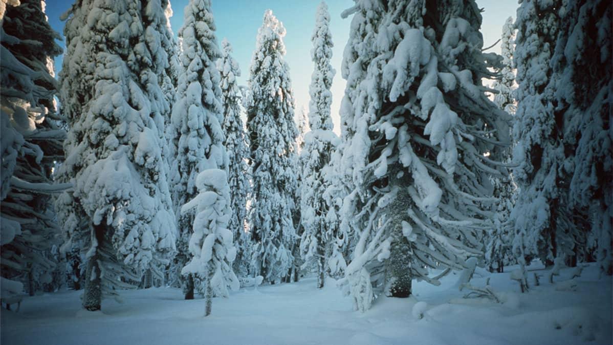Lumista metsää Syötteen kansallispuistossa