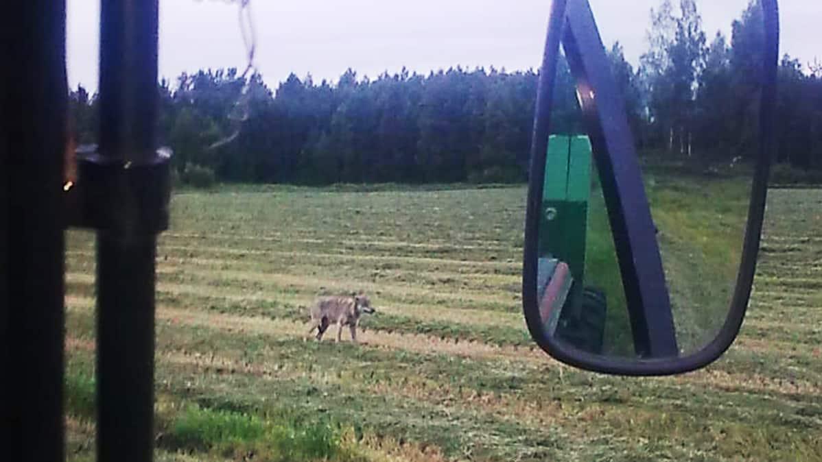 Susi pellolla kuvattuna traktorin kopista.