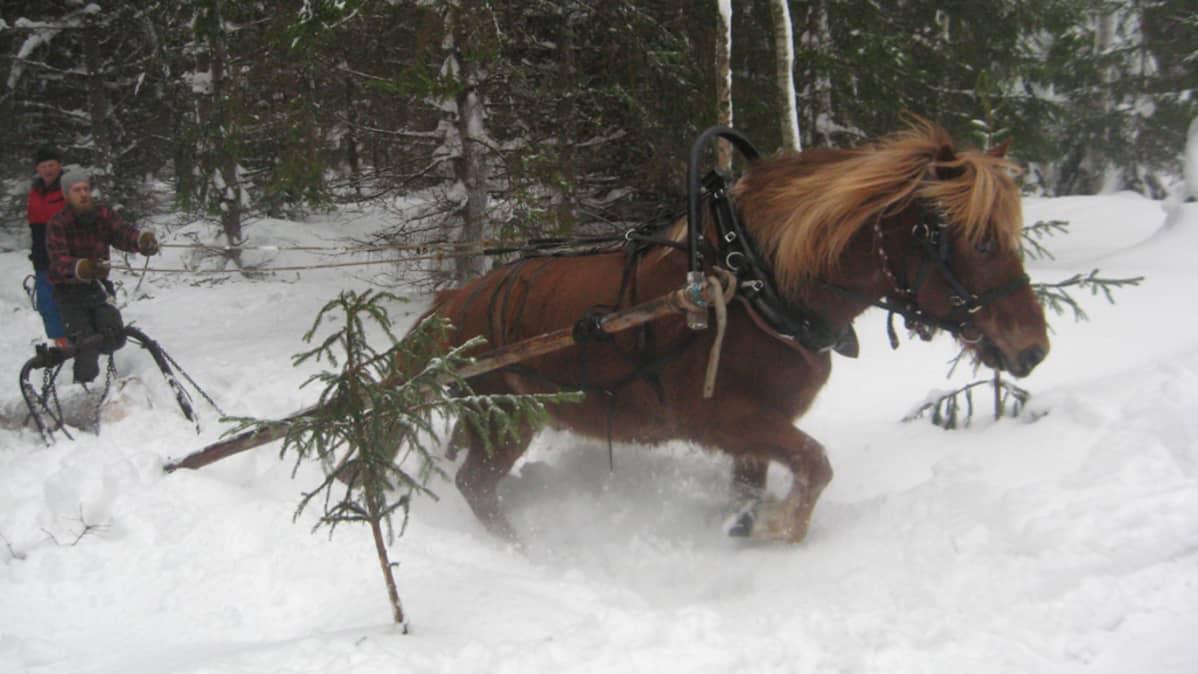 Suomenhevonen Uuras juontaa tukkia, ohjissa Mikko Sillanpää