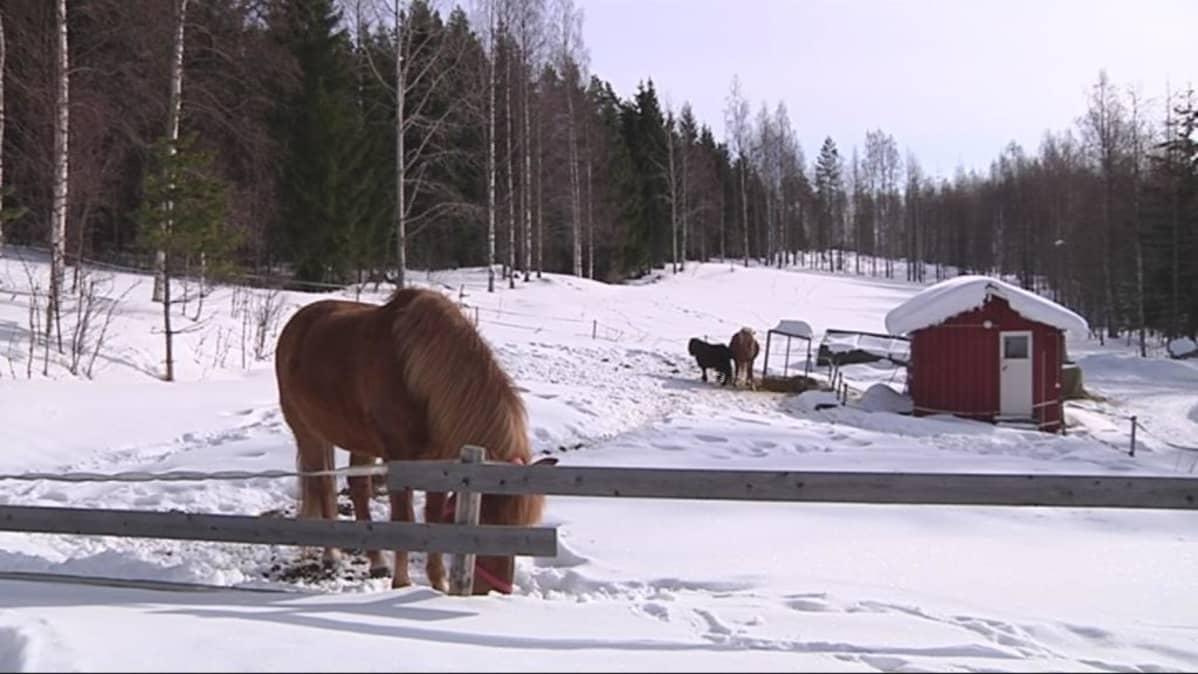 Hevosia talvilaitumella.