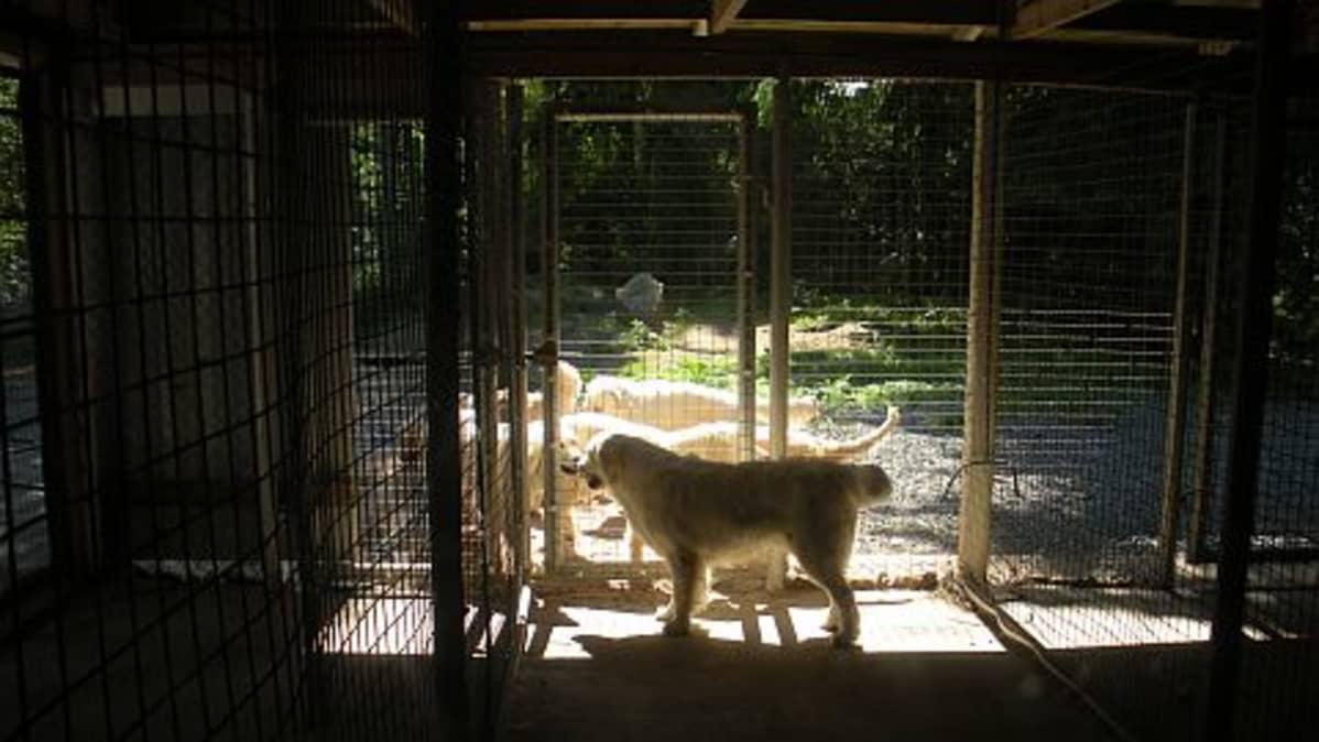 Kultainennoutaja koirahoitolan aitauksessa.