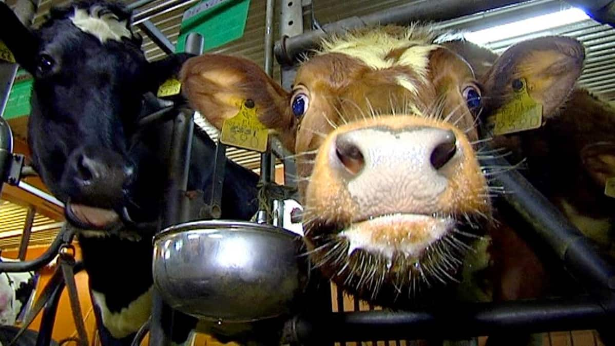 Lehmiä nykyaikaisessa navetassa