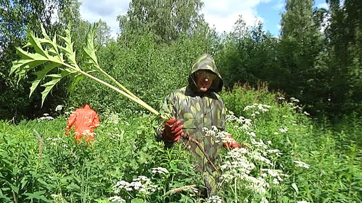 Ympäristötoimen Toni Pöntelin pitelee jättiputkea