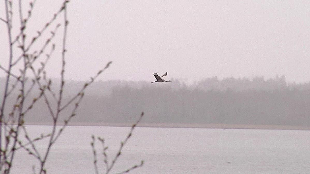 Kurki lentää Kaislasen yllä