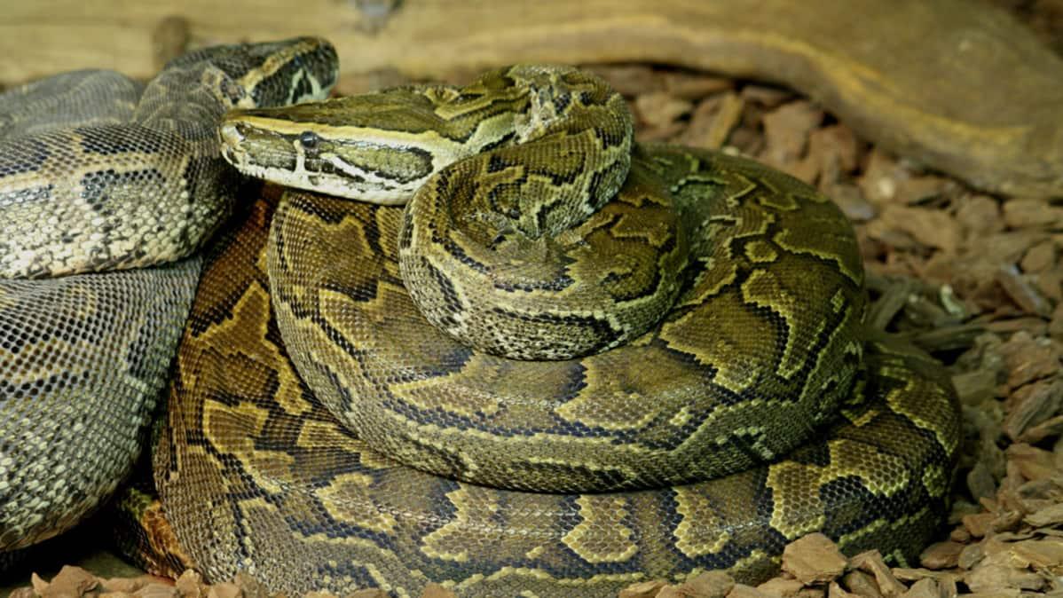 Poikasten käärmeäiti (oik.) ja -isä.