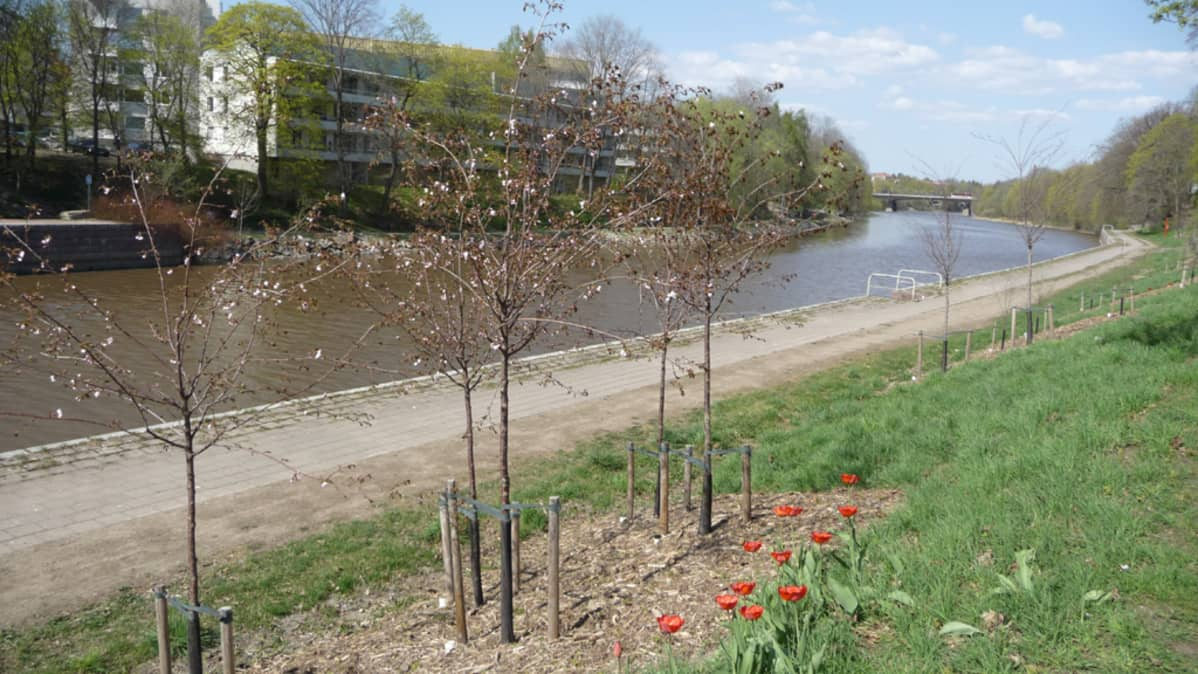 Kirsikkapuita kukassa Aurajoen varressa.