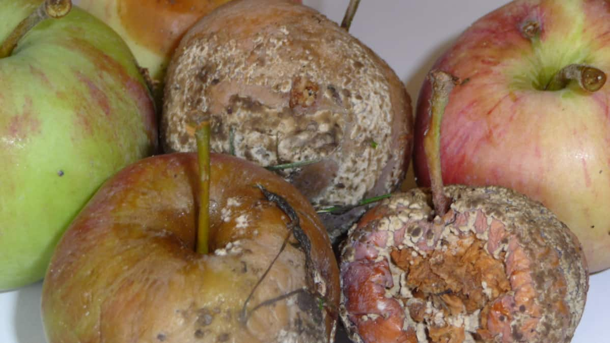 Muumioituneita omenia.