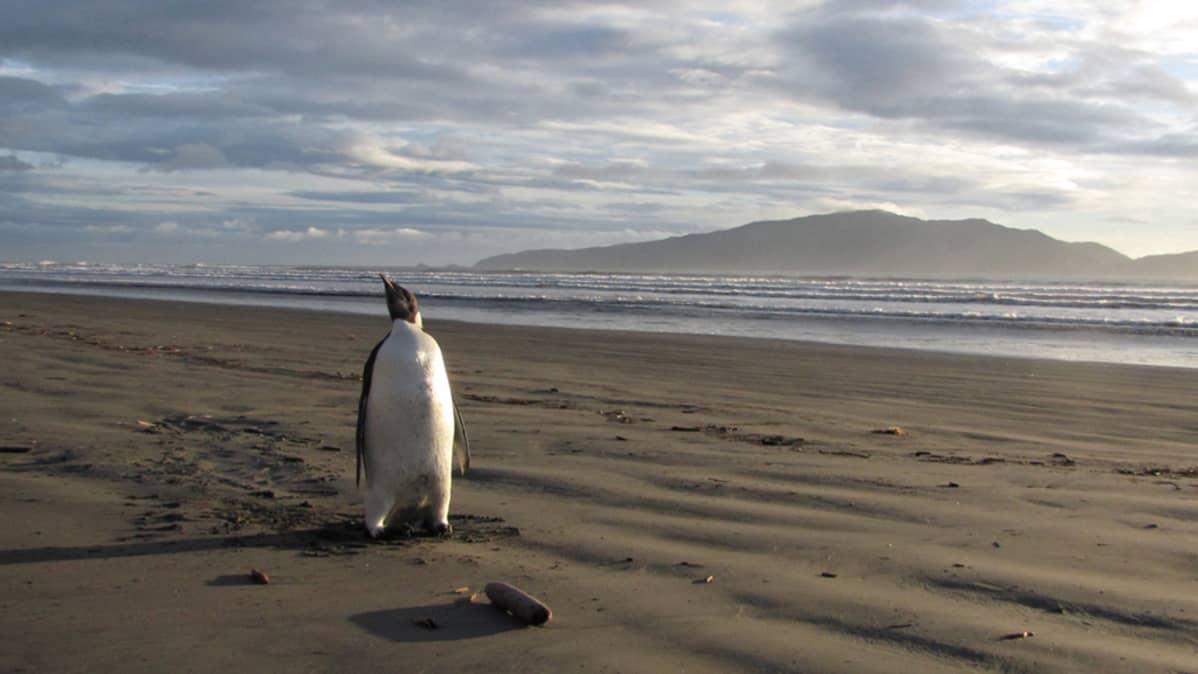 Pingviini löytöhetkellä 20.06.2011 Uudessa Seelannissa.