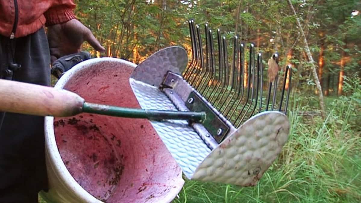Henkilö pitelee kädessään varrellista marjapoimuria ja ämpäriä.