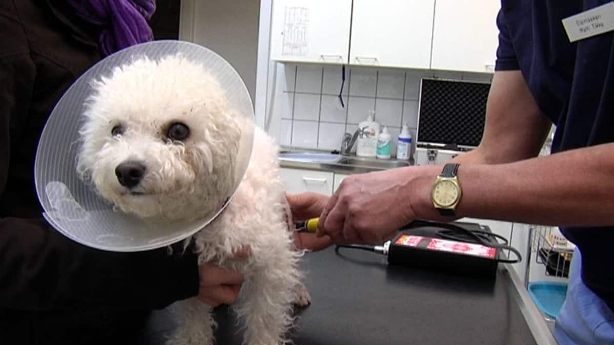 Nasu-koira saa akupunktiohoitoa.