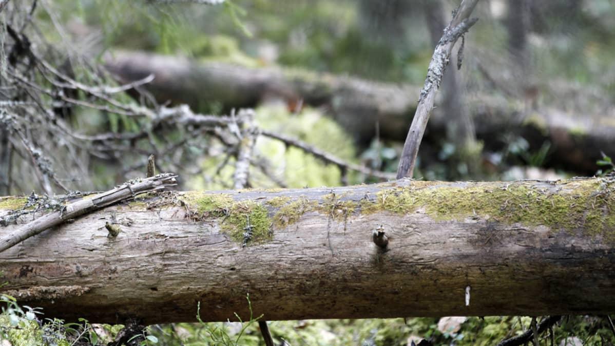 Kaatuneita puita metsässä.