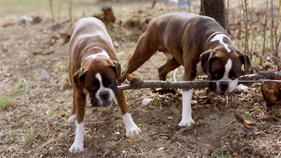 Kaksi bokseria koirapuistossa