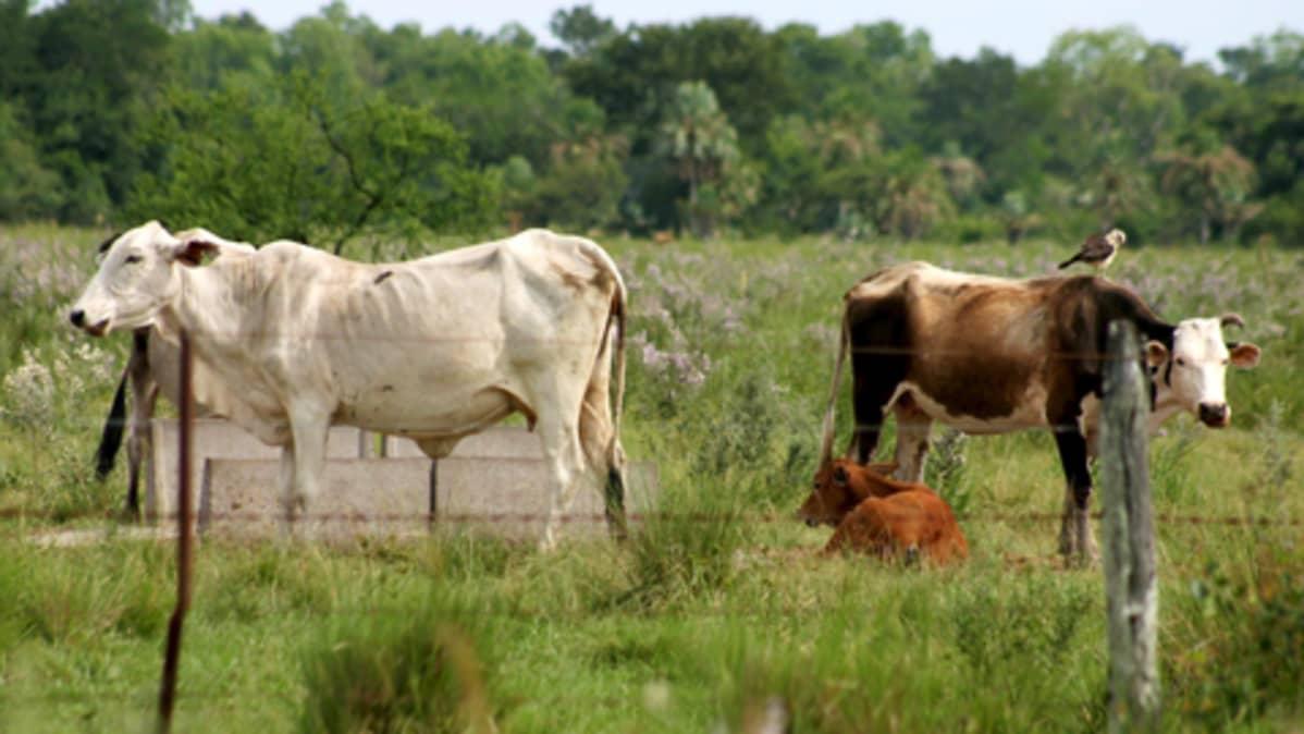Lehmiä laitumella Etelä-Amerikassa.