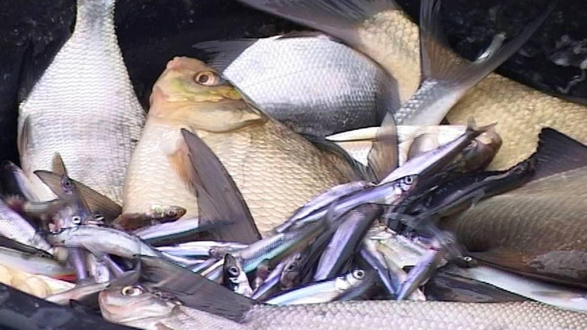 Kotimaista kalaa on ollut niukasti tarjolla Keski-Suomessa.
