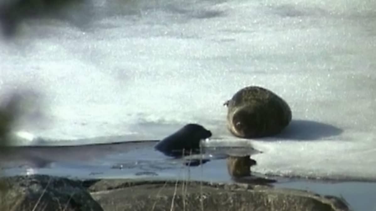 Norppaemo köllöttelee jäällä kuutin uiskennellessa sulavedessä